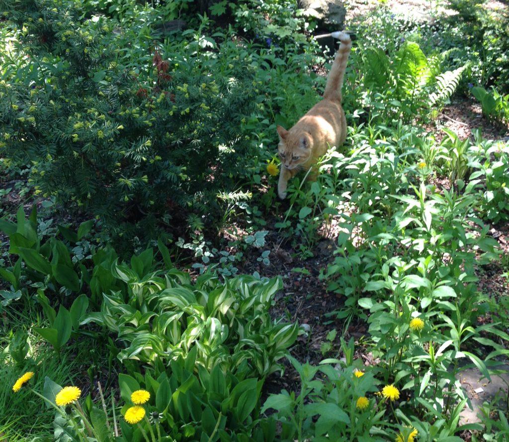 An orange cat walks through a garden towards the camera.